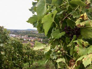Wein von Weinsberg